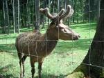 8. Lesní ZOO  Altenschneeberg - jelen červený