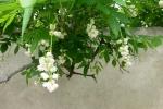 4. Kvetoucí klokočí